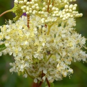 MEADOWSWEET - antacid & pain reliever