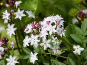 BOGBEAN - bitter tonic used widely in Scottish Highlands & Islands as rheumatic & respiratory tonic