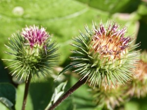 BURDOCK - powerful cleansing blood tonic for skin & rheumatic conditions