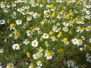 CHAMOMILE - soothing & calming to the digestion, the nerves and the skin