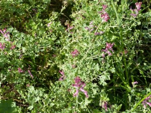FUMITORY - popular spring tonic, for eczema & dry skin conditions