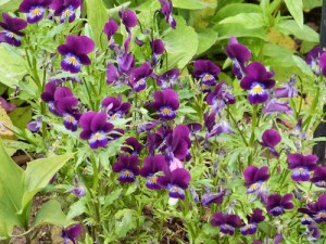 HEARTSEASE - cleansing & detoxing tonic for chronic skin conditions with discharge