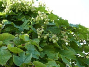 HOPS - sedative for nervous anxiety & hysteria