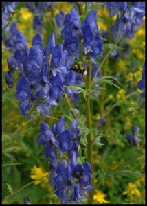 MONKSHOOD - powerful pain reliever used externally ONLY (restricted)