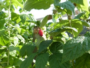 RASPBERRY - used as a prenatal tonic to ease childbirth