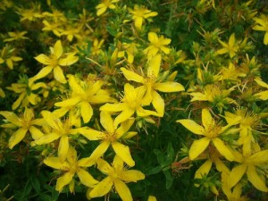 St John's wort - for neuralgia, anxiety, stress & depression