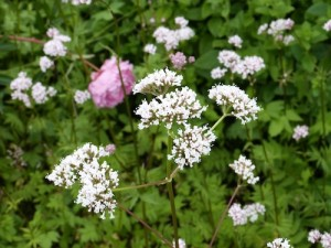 VALERIAN - a calming & aromatic root used for irritability, panic & insomnia