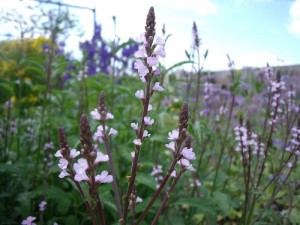 VERVAIN - a mild nerve tonic indicated when a change is needed